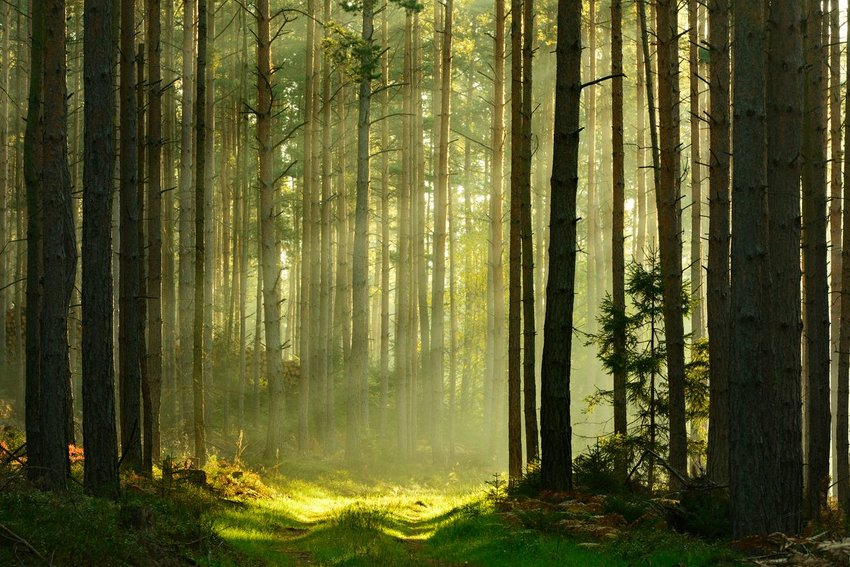 Sun beams coming through trees in a forest