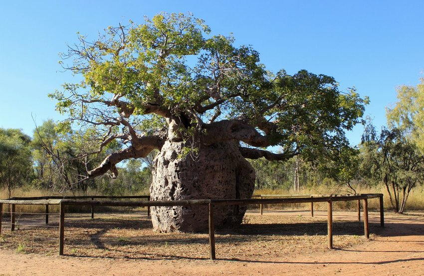 Large Boab tree in the outback in Australia