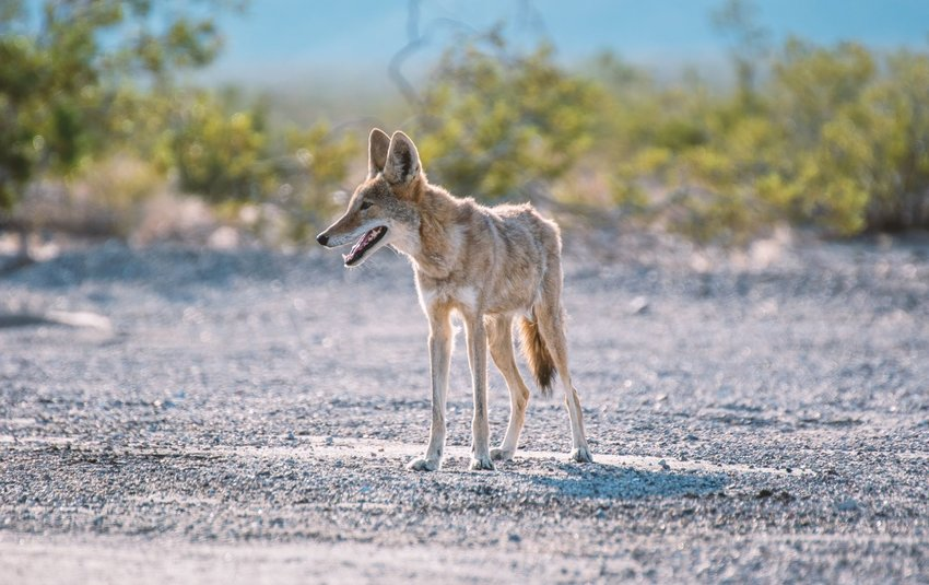 Coyote standing in Death Valley