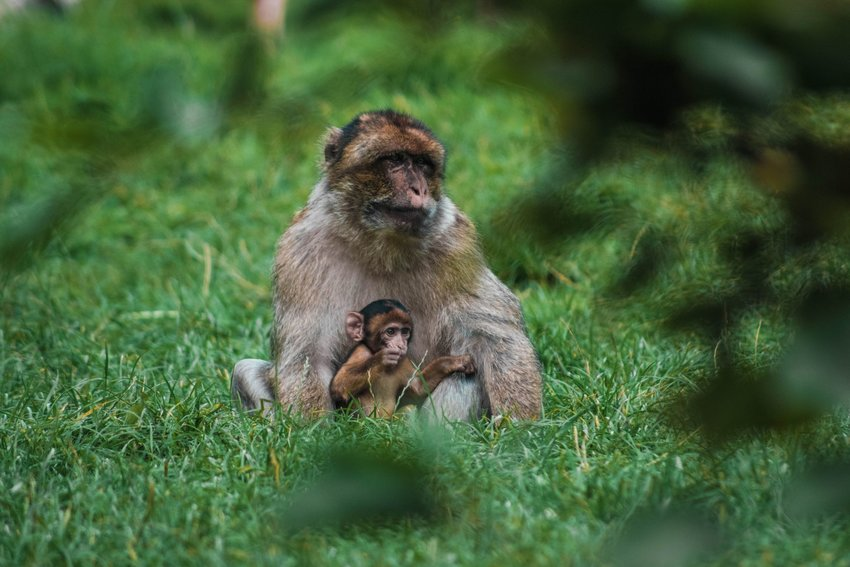 Monkeys sitting in the grass