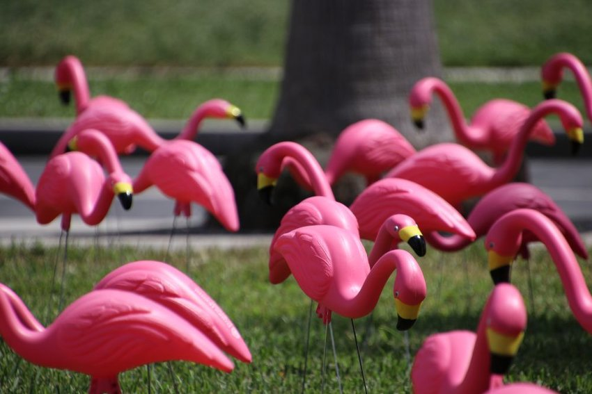 Yard full of pink, plastic flamingos