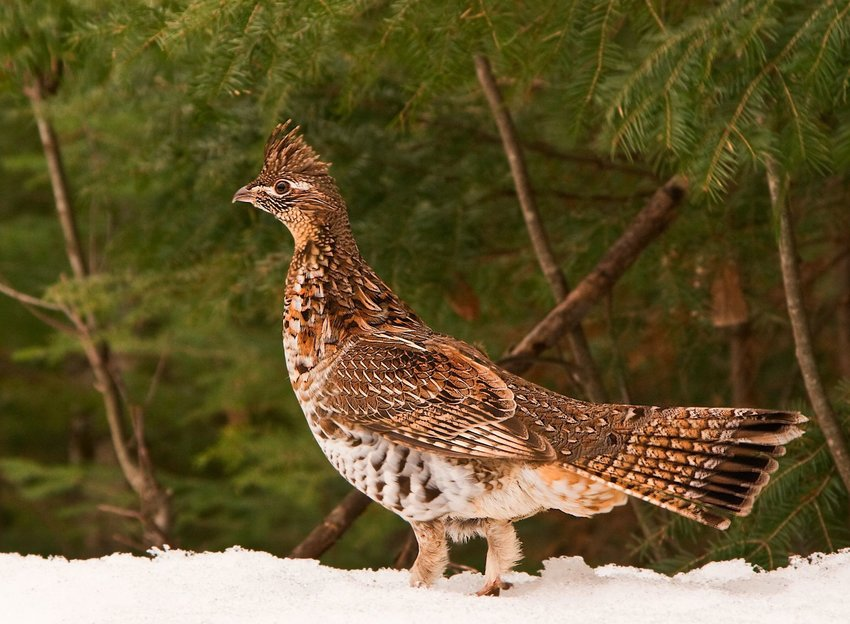 Reffed grouse walking on snow with trees in the background