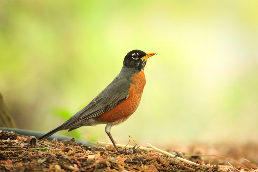 American robin with background out of focus