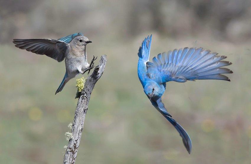 Two mountain bluebirds