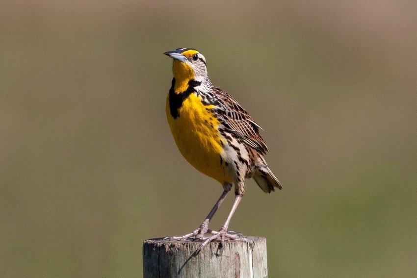 Western meadowlark on a wooden post