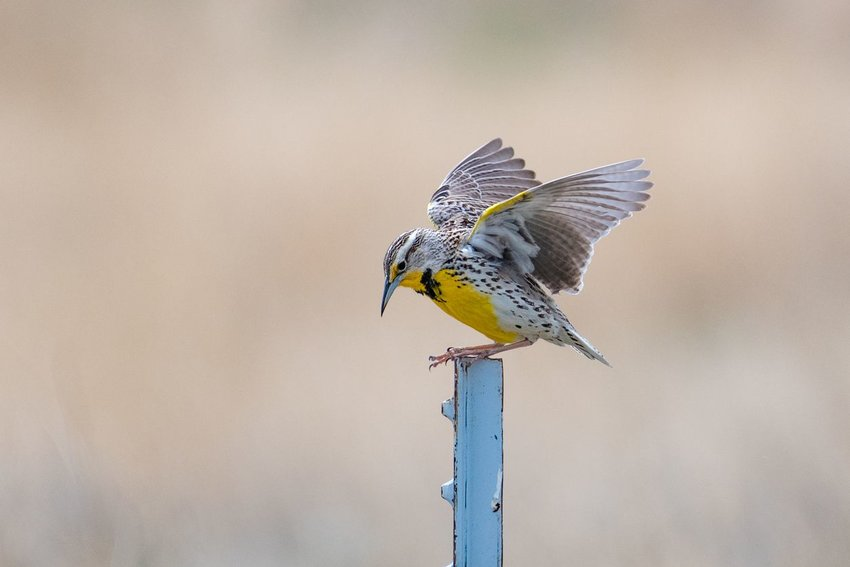 Western meadowlark flapping its wings on a metal post