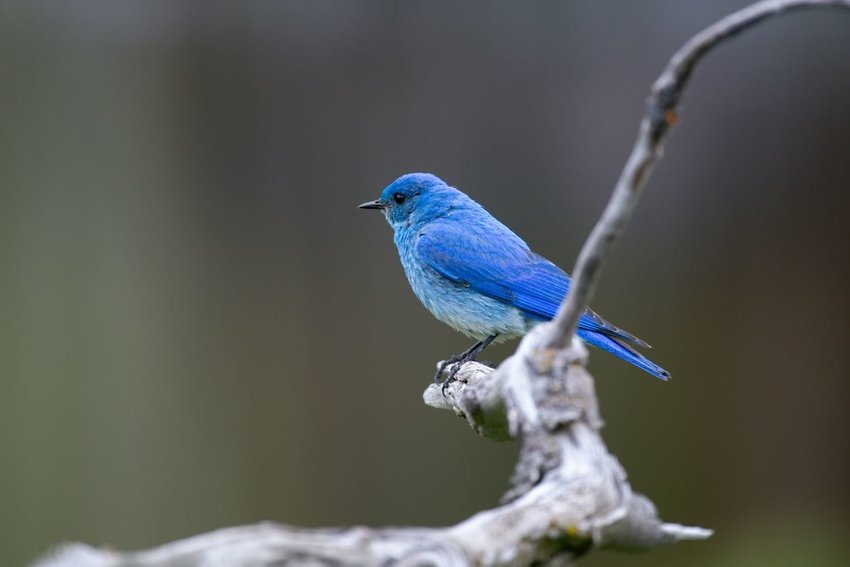 Mountain bluebird perched on a tree branch