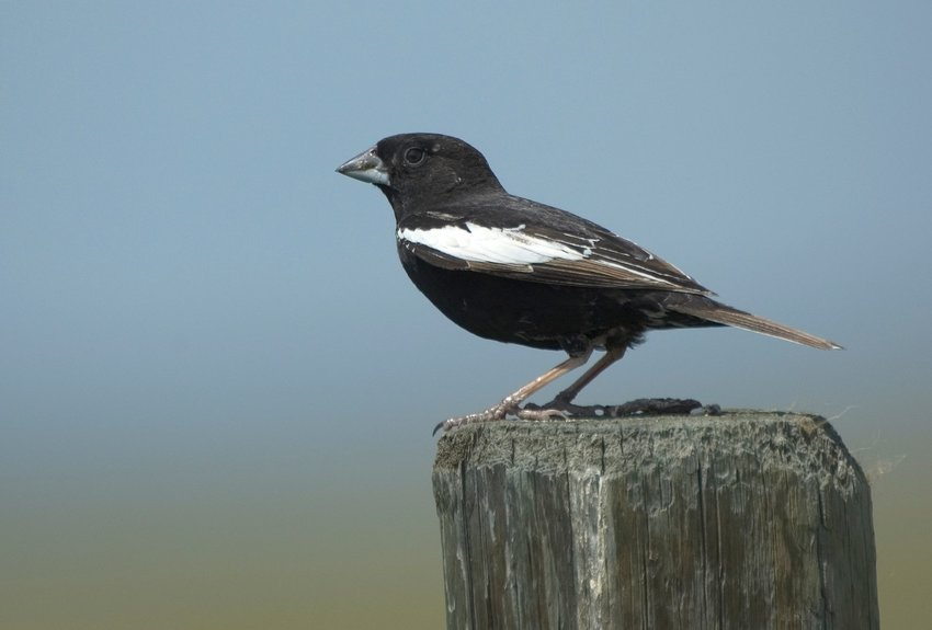 Lark Bunting sitting on top of wooden post