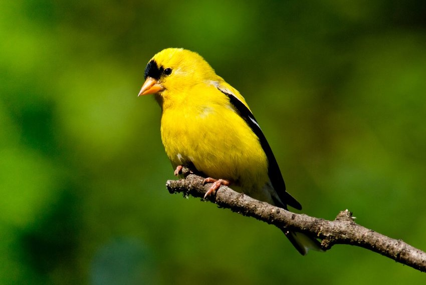 American goldfinch resting on a branch