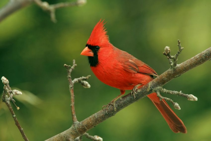 Northern cardinal on a tree branch
