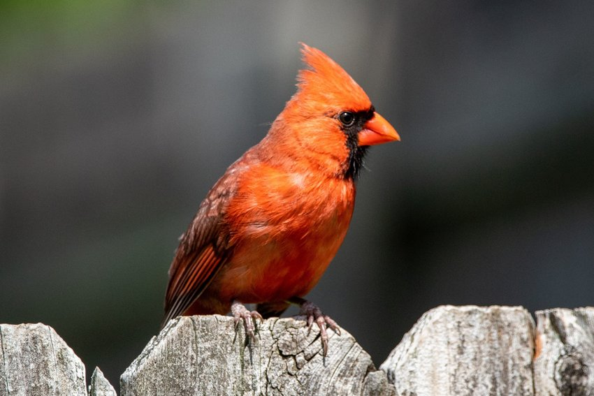 Northern cardinal perched on a fence
