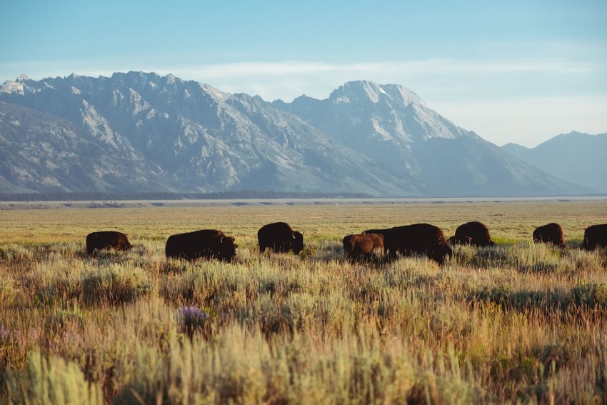 Buffalos on the plains in Wyoming