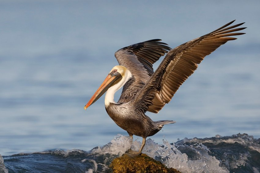 Brown pelican on rock in the ocean