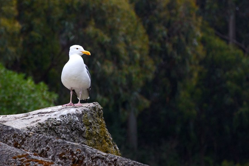 California gull on a rock with a forest in the background
