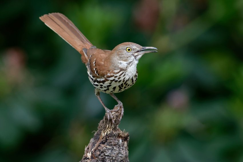 Brown Thrasher perched on a stick