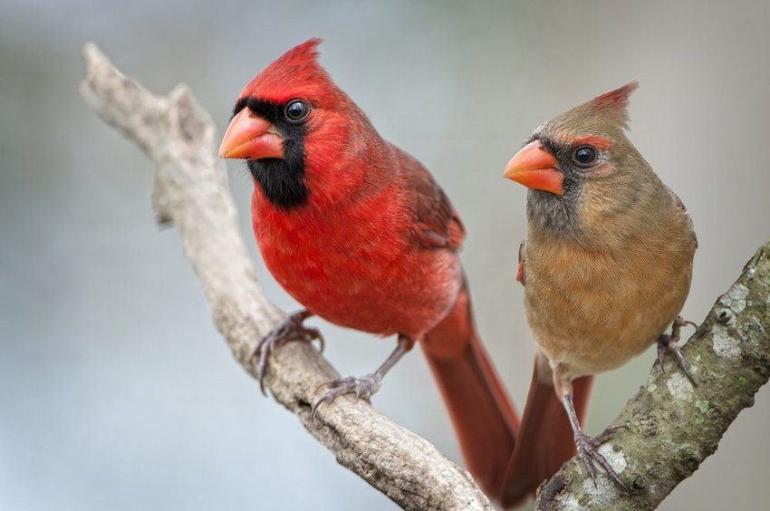 Two cardinals perched together in a tree