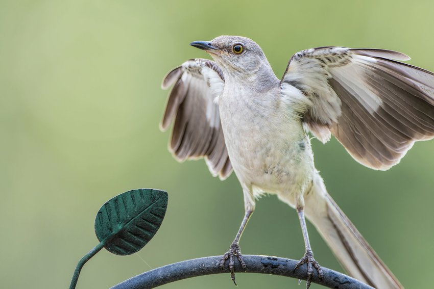 Northern mockingbird flapping its wings