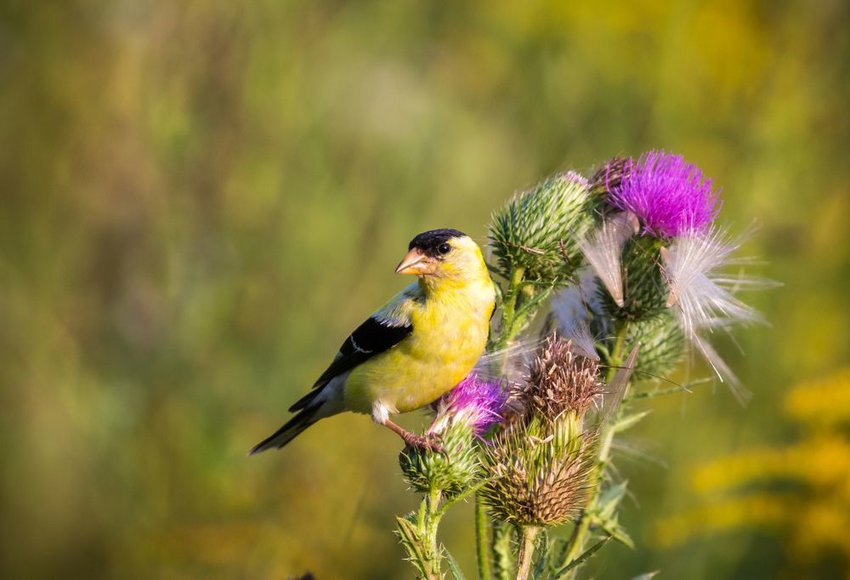 American goldfinch on flowers
