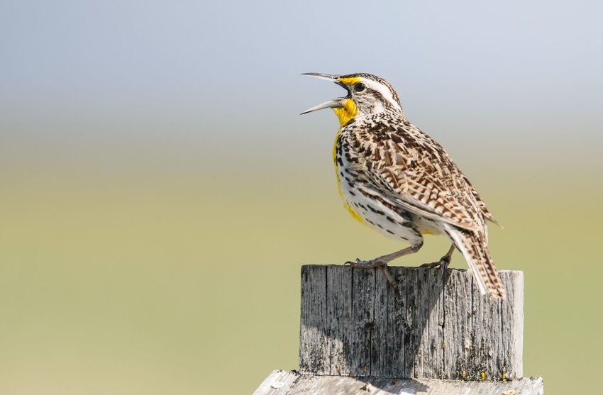 Western meadowlark singing on a wooden fence