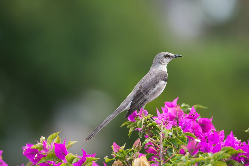 Northern Mockingbird standing on a plant with purple plants