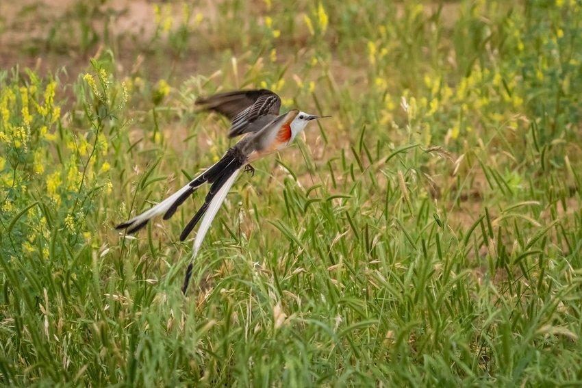 Scissor-tailed flycatcher flying over a grass field