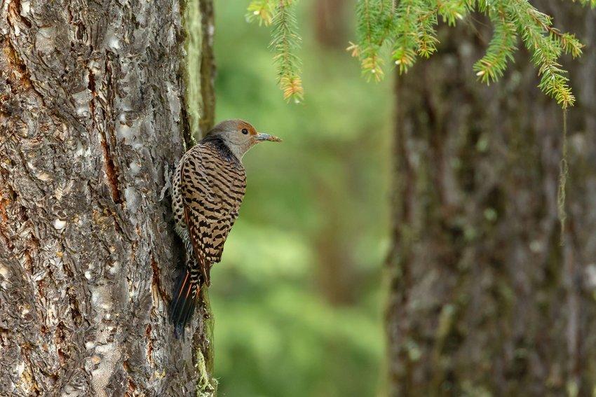 Northern Flicker bird on a tree