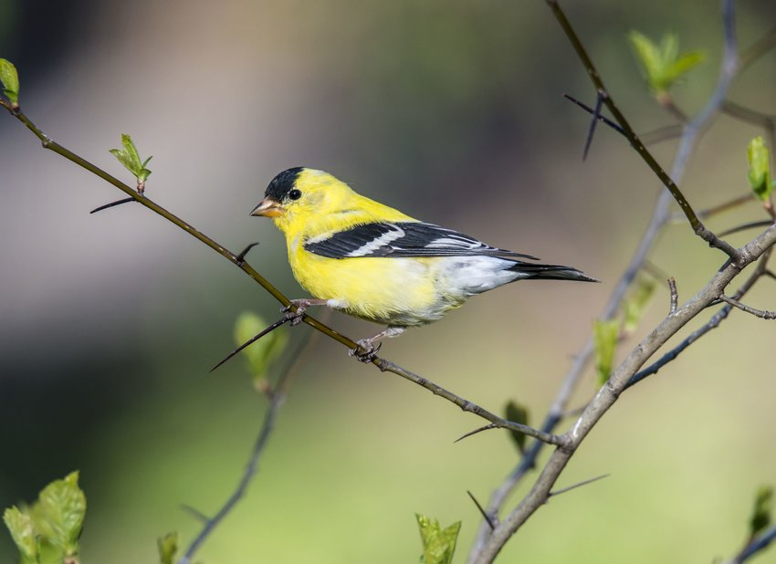 American goldfinch on tree branch