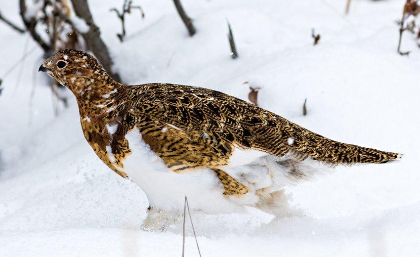 Willow Ptarmigan walking in the snow