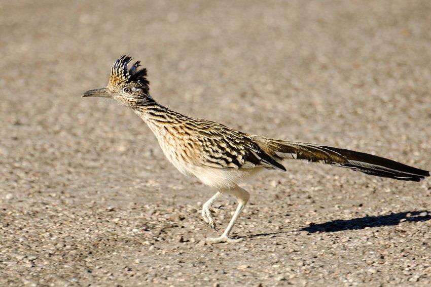 Greater roadrunner running across a desert