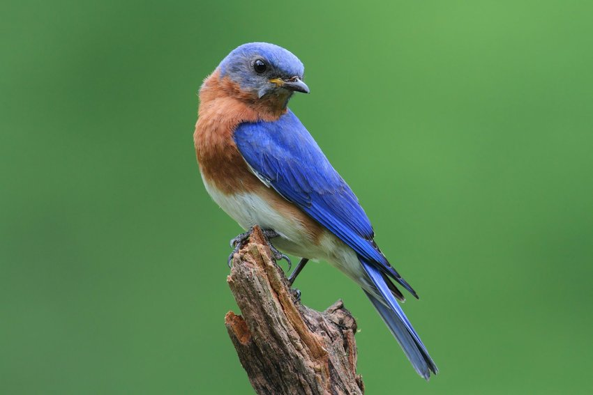Eastern bluebird perched on a wooden stick