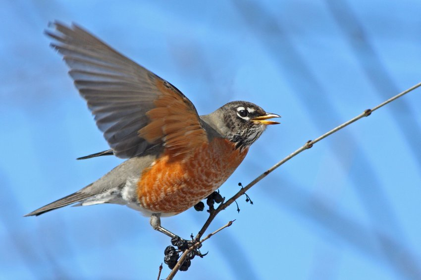 American robin flapping wings on a tree branch