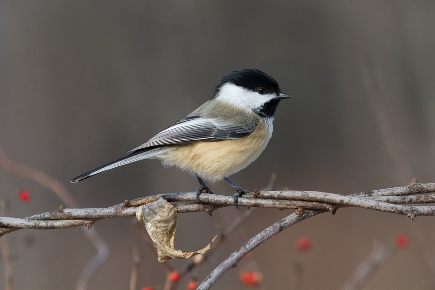 Black-capped chickadee on intertwined branched