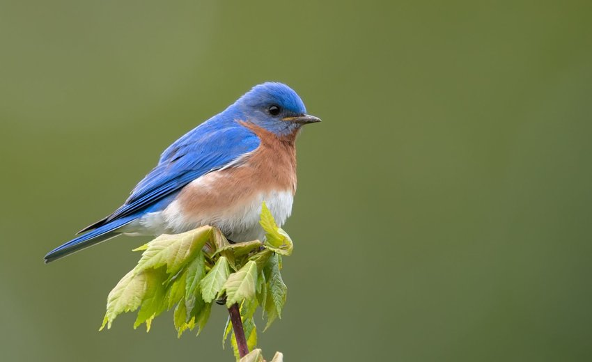 Eastern bluebird resting on a branch with green leaves