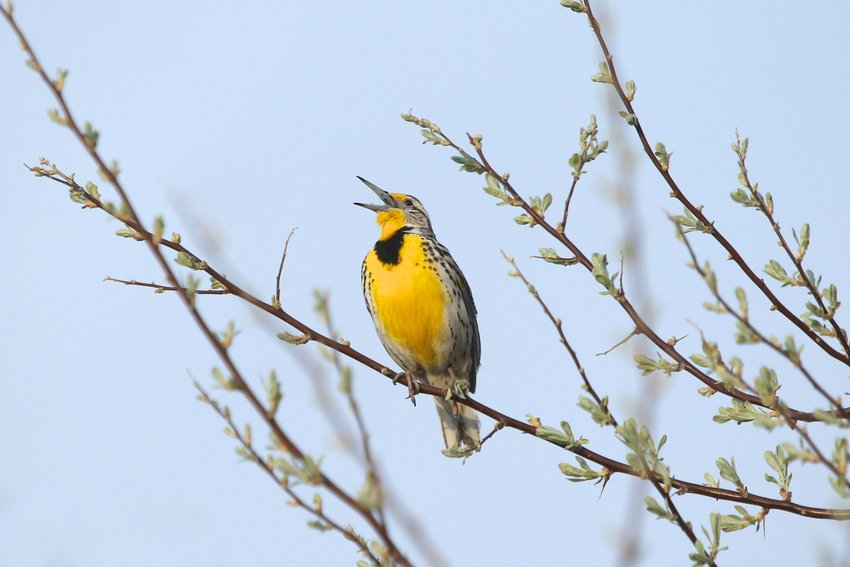 Western meadowlark perched in the top of a bush