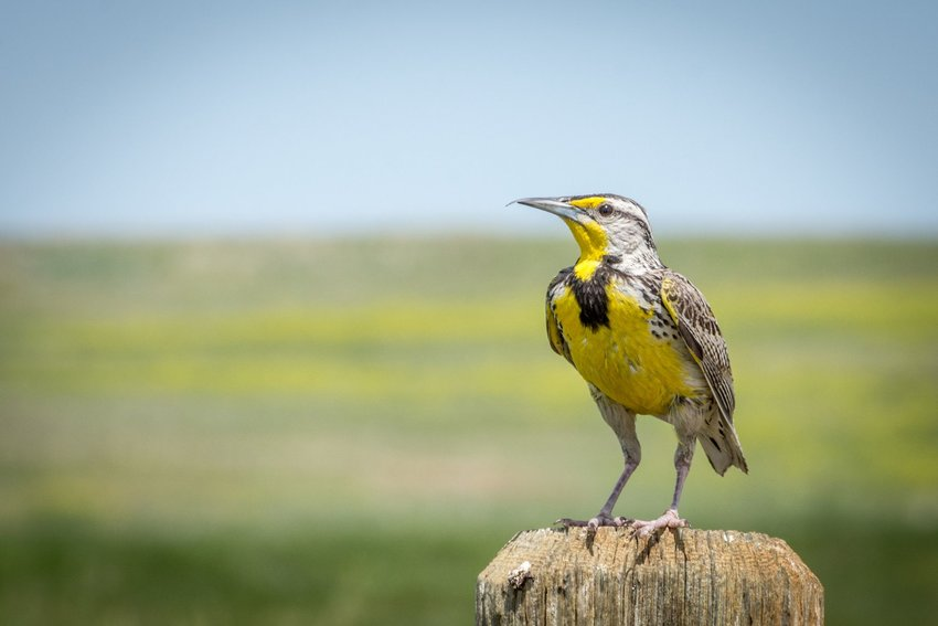 Western meadowlark perched on a wooden post