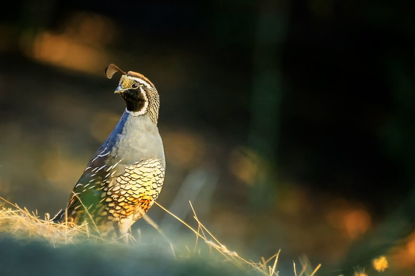 A California Quail in focus with foreground blurry