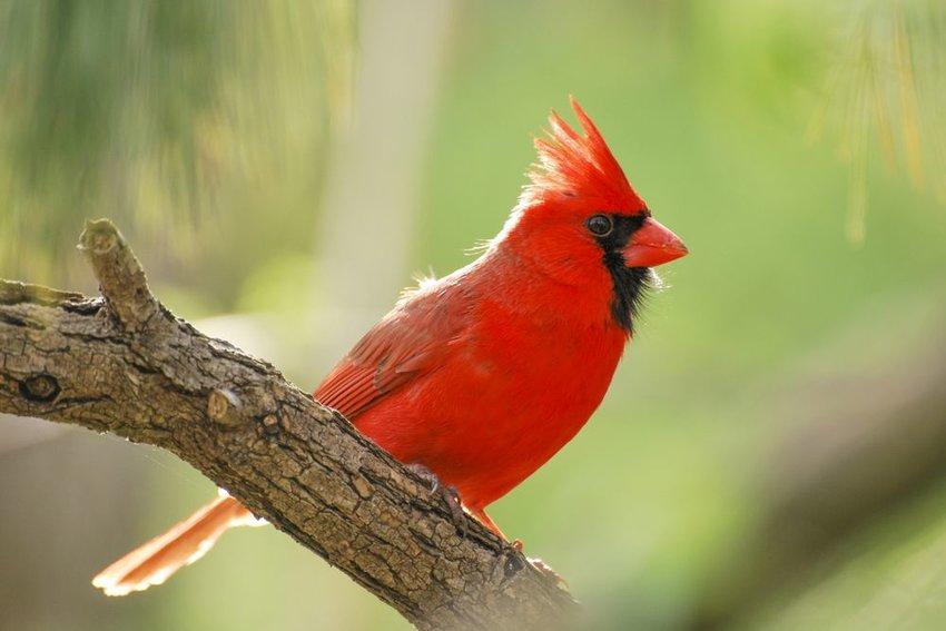 Northern cardinal at sunrise