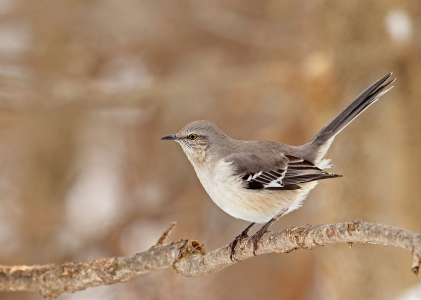 Northern mockingbird resting on a tree branch