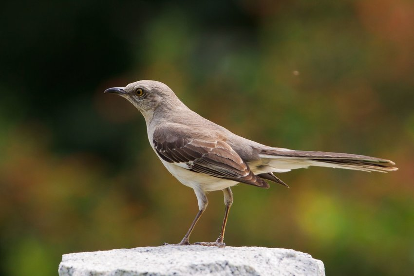 Northern Mockingbird standing on a rock