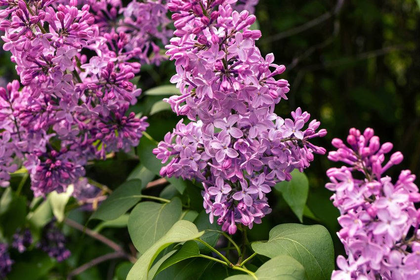 Close up view of lilac flowers on a lilac bush