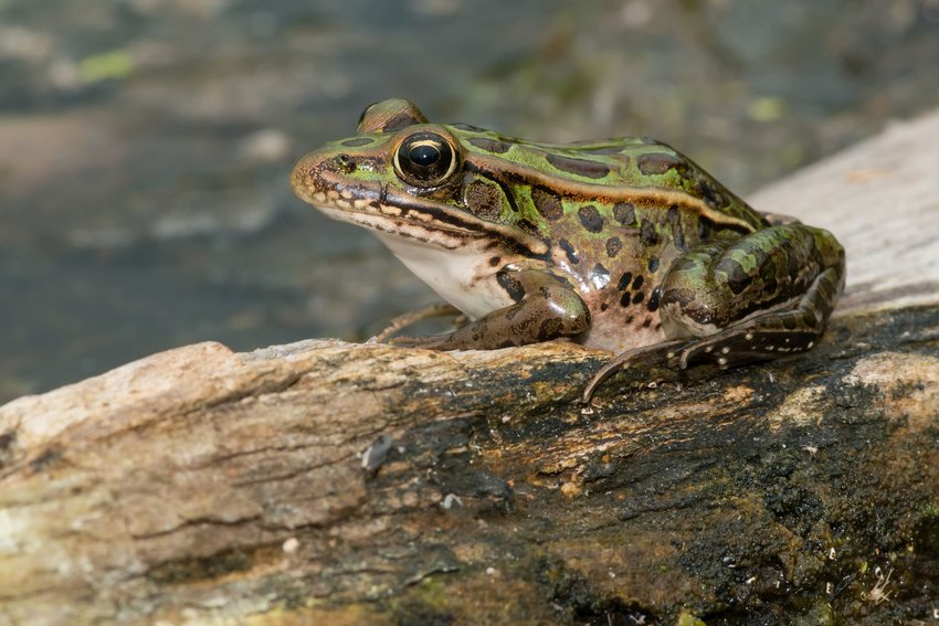 Northern leopard frog sits on a log