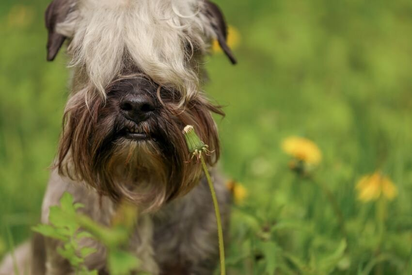 The Cesky Terrier and in a field of dandelions.