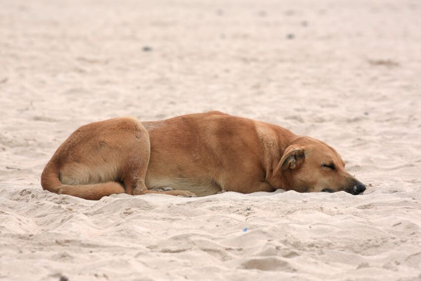 Brown stray dog resting on Maicolpue beach, in Southern Chile.
