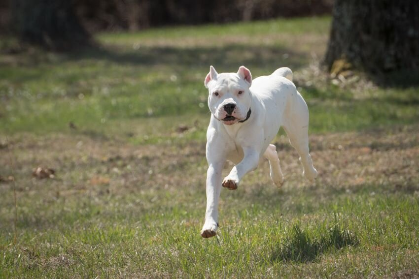 White Dogo Argentino running in lawn.