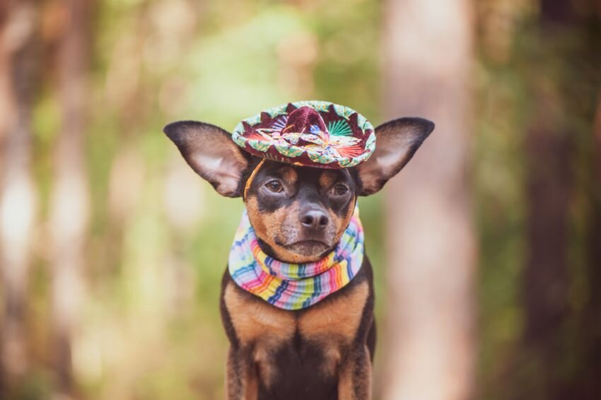 Chihuahua dog in sombrero and bandage.
