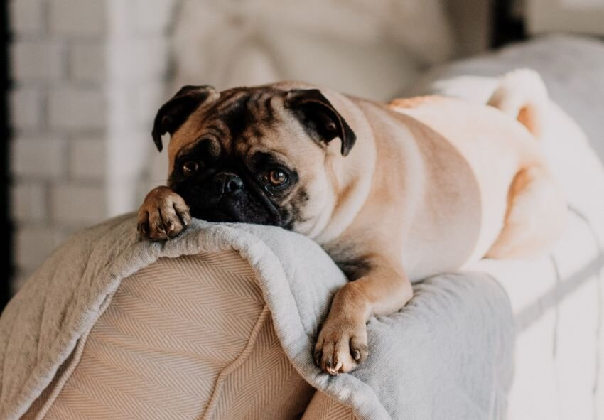 Pug laying on top of couch in USA household.